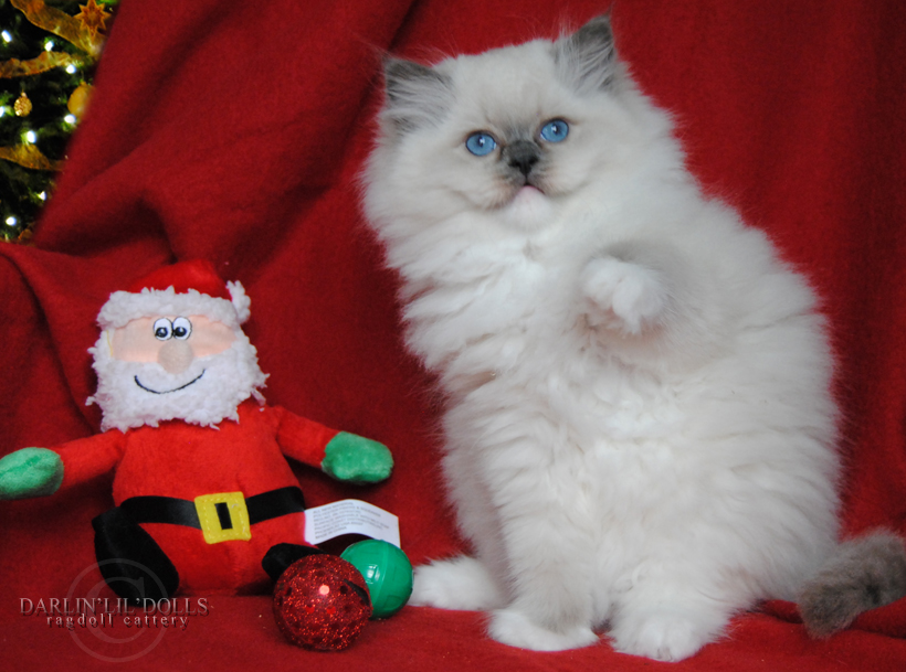 Ragdoll cat for sale montreal