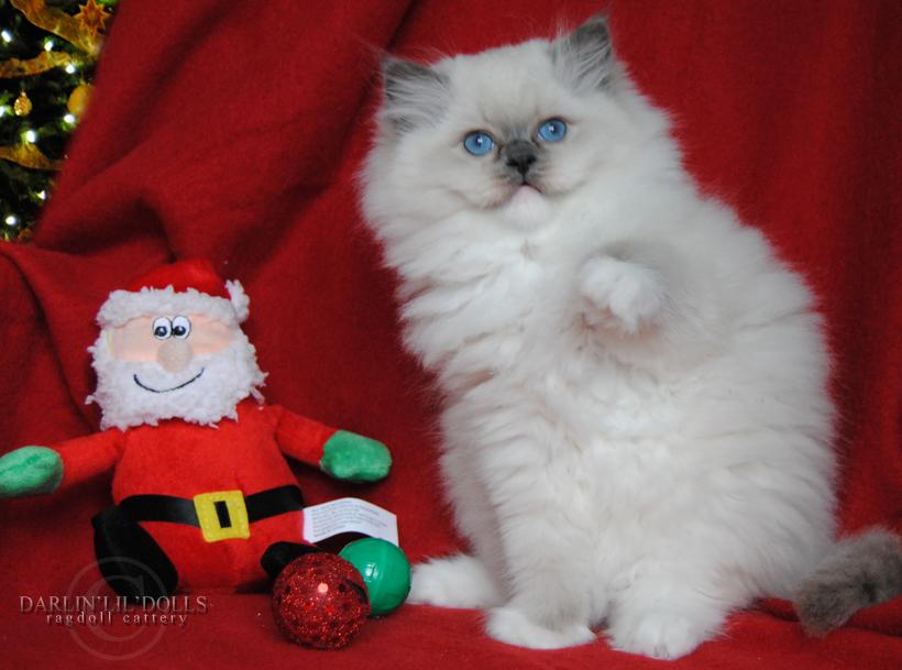 Baby Ragdoll Kitten Ragdoll Kittens For Sale