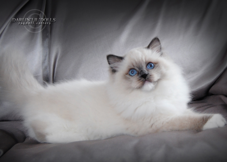 Ragdoll cat for sale ottawa